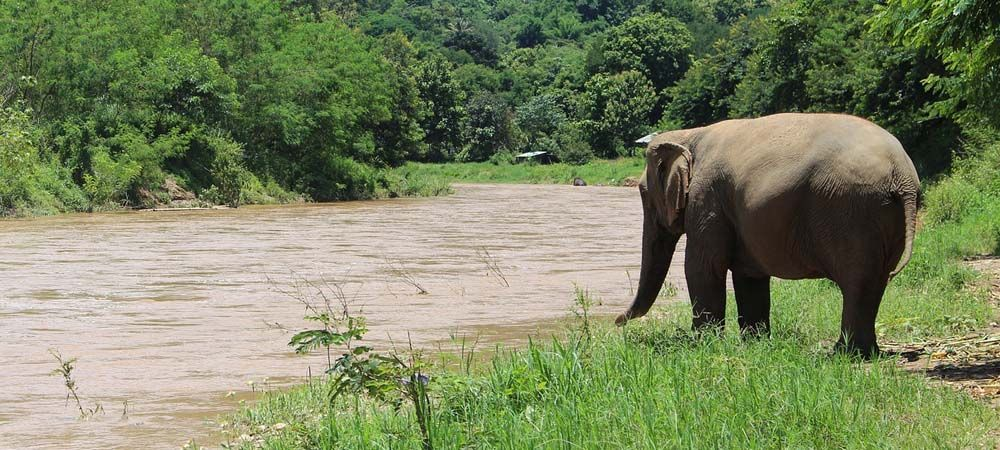 Shows an Elephant in the jungle
