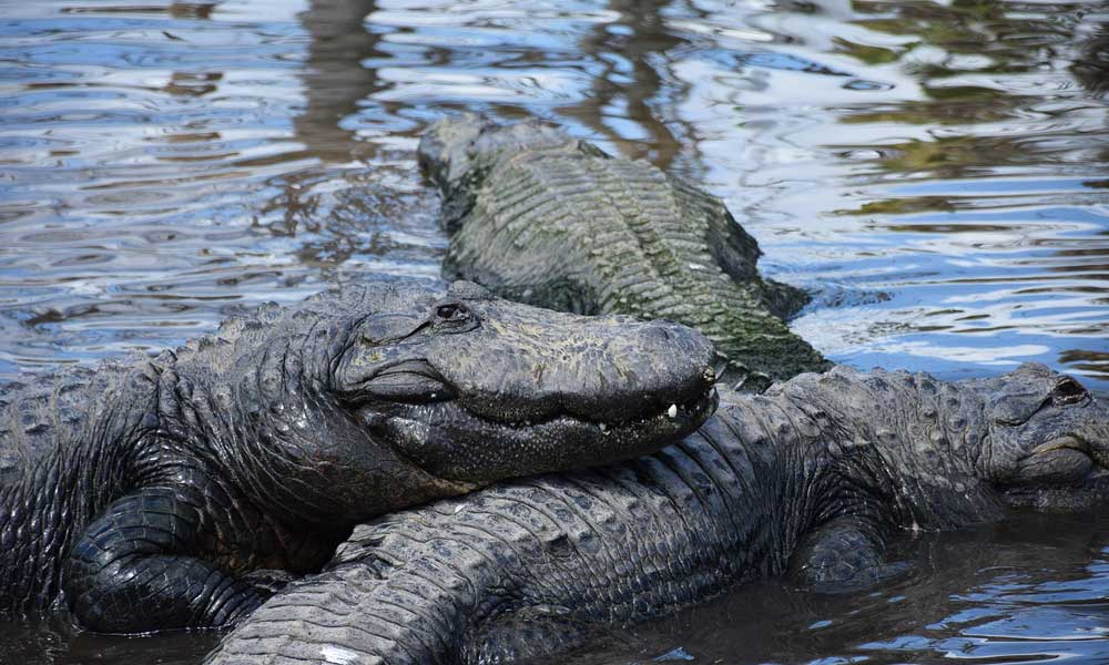 Gatorland day trips and excursions - depicts three alligators lying in a lake
