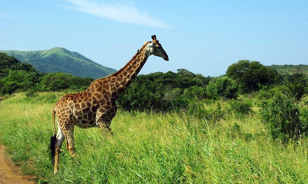 April holiday inspiration - depicts a giraffe in Kruger National Park