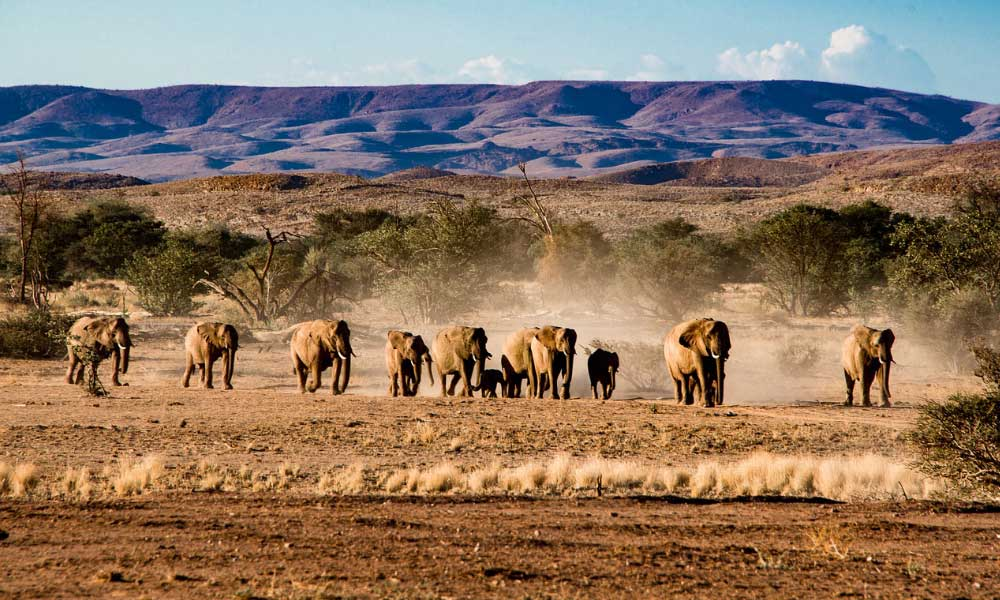 Shows elephants in the desert of Namibia