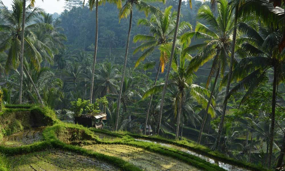 3 week Bali itinerary - Shows a jungle and rice paddies in Ubud