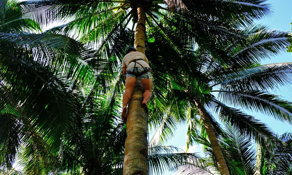 Shows a man climbing a coconut tree with a harness