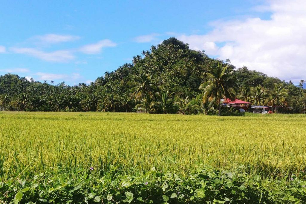 Top things to do in El Nido - Shows rice fields inland
