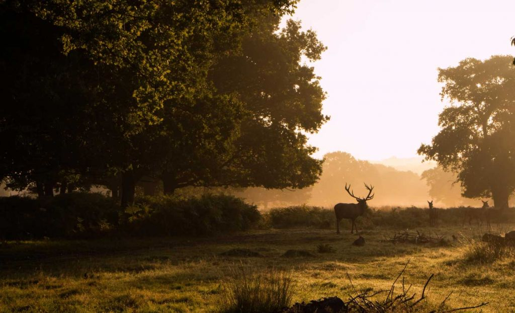 Early morning view of Richmond Park with a deer in the distance