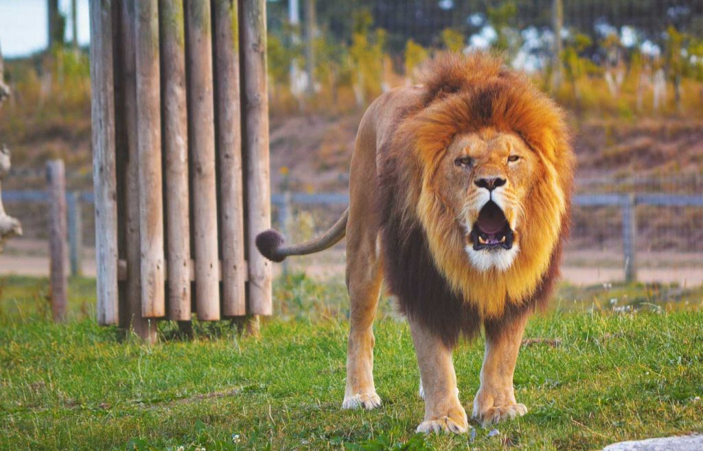 Best places to visit in Yorkshire - Lion at Yorkshire Wildlife Park