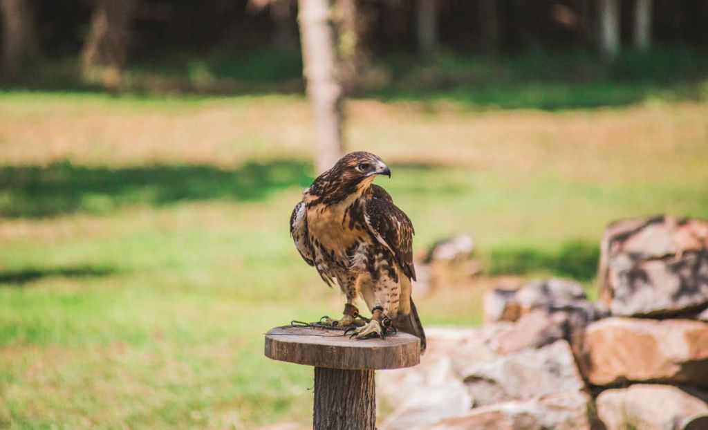 Shows a bird at the Cotswolds Falconry