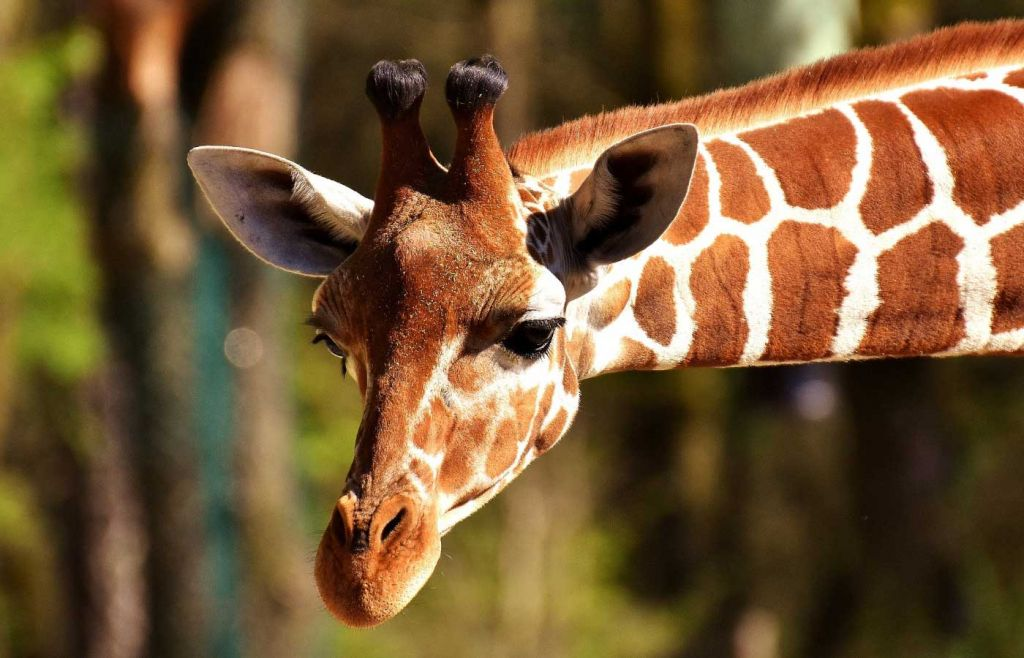 The best things to do in Paphos - Shows a giraffe at Pafos Zoo