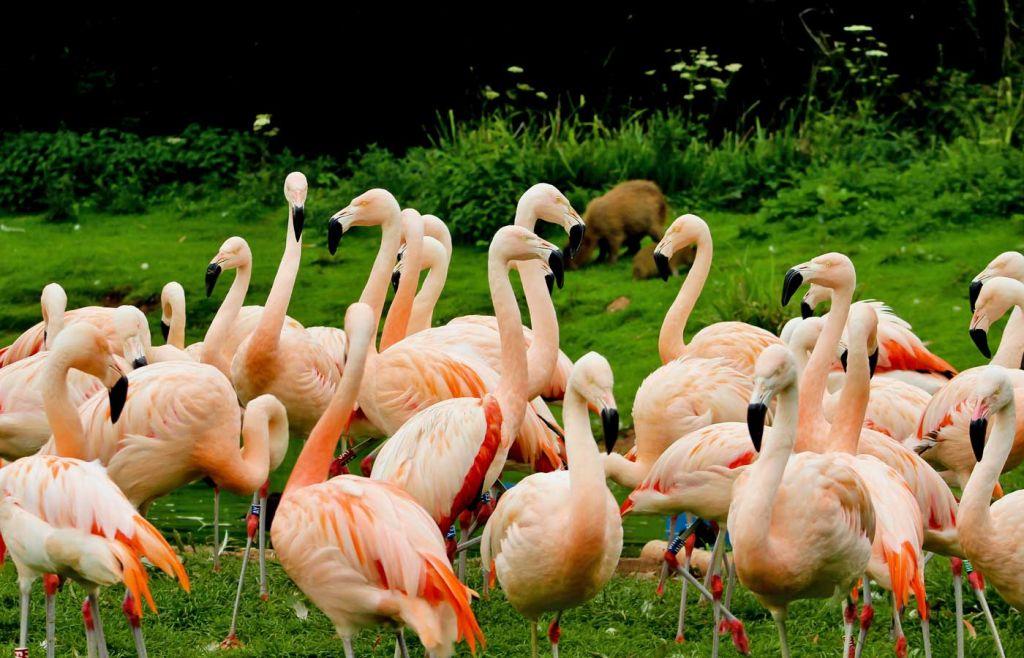 Shows pretty flamingos at South Lakes Zoo